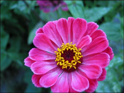 pinkzin.jpg