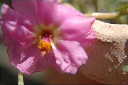 pinkportulaca.jpg